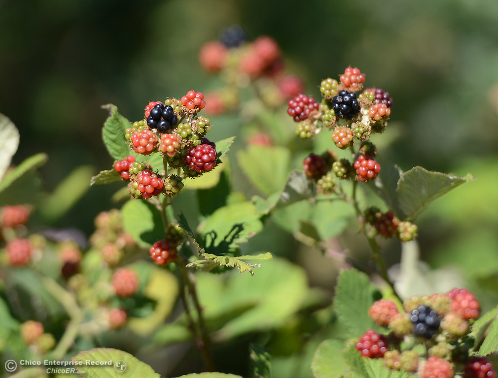 . Blackberries ripen in the sun Friday, June 16, 2017, in the Butte Creek Ecological Preserve in Chico, California. (Dan Reidel -- Enterprise-Record)
