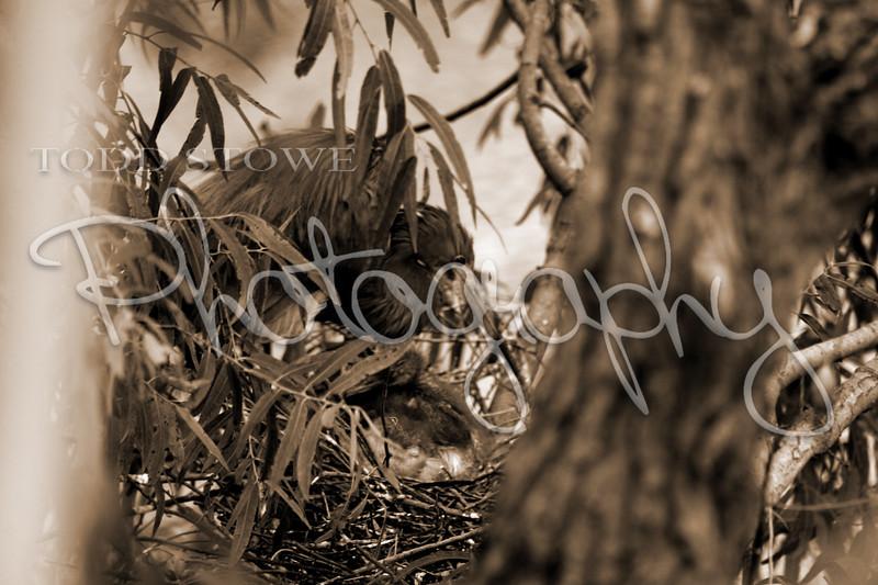 Nesting Tricolored Heron