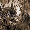 Nesting Tricolored Heron