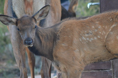 Elk Doe and Fawn