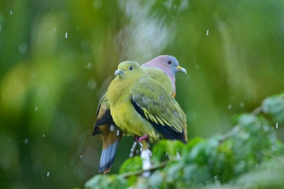 Courting in the rain ... Pink neck green pigeon