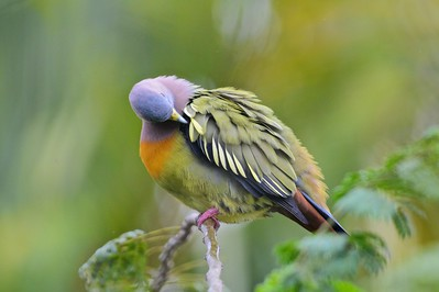 my beautiful feather ... pink neck green pigeon