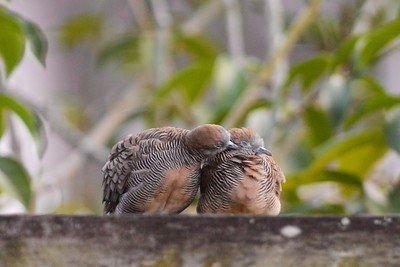 A moment of intimacy ... Zebra dove