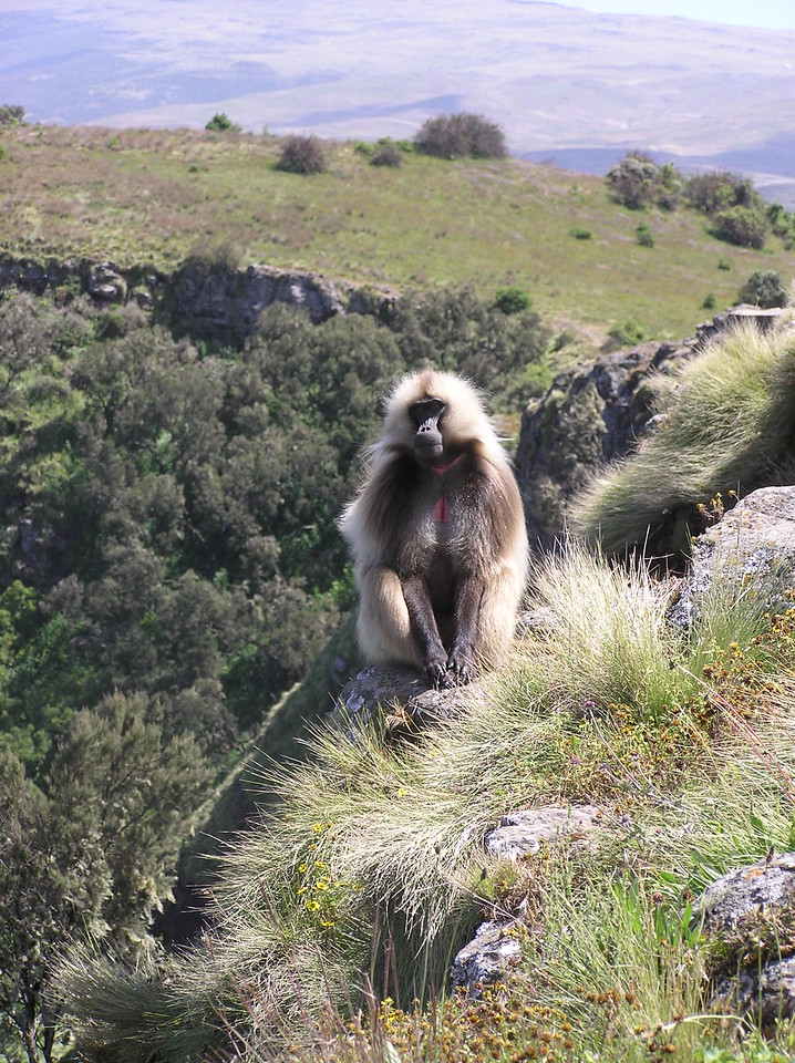 Watchful Gelada in the Simiens