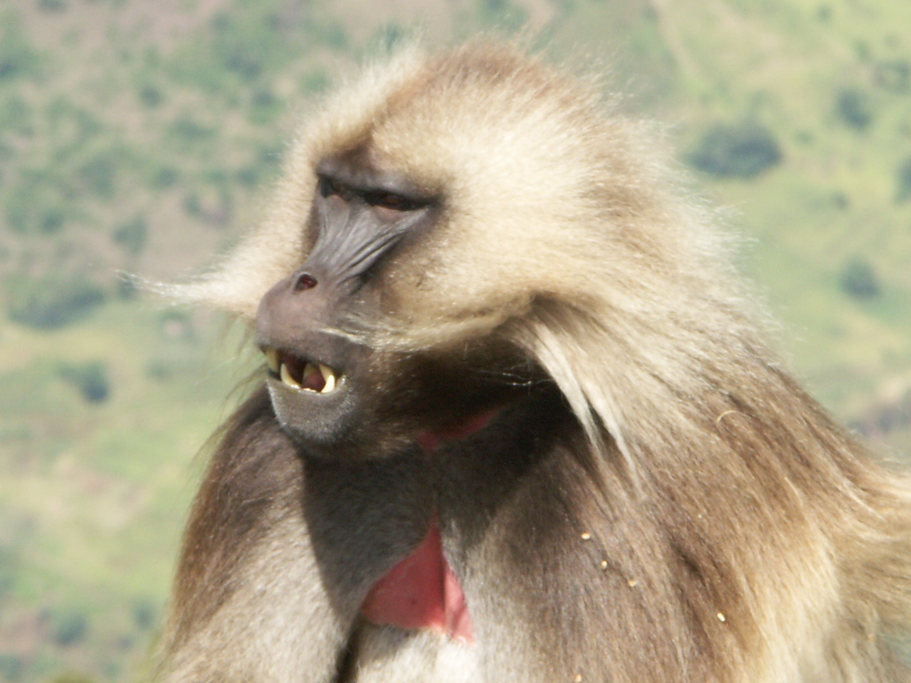 Gelada in the Simiens