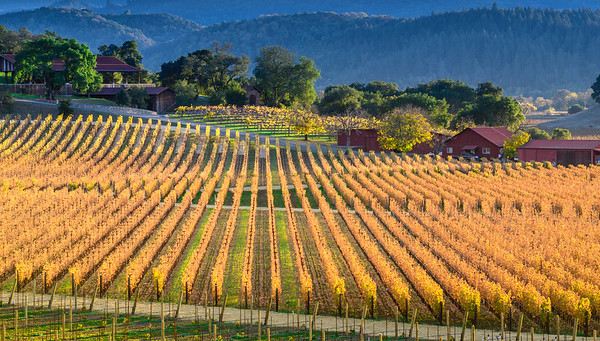 Napa Fall Vinnyard Sunset