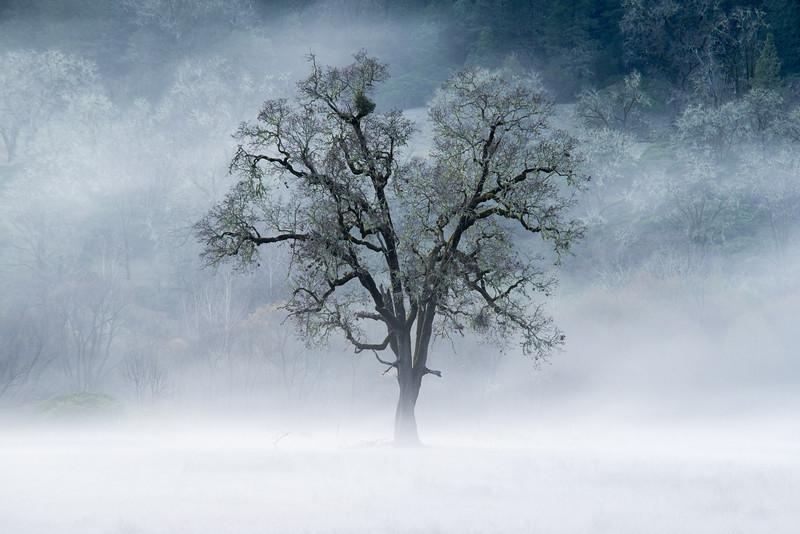 Lone Tree in the Fog, Northern California