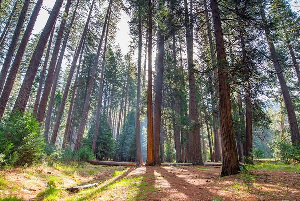 Backlit Yosemite Valley Forrest, California