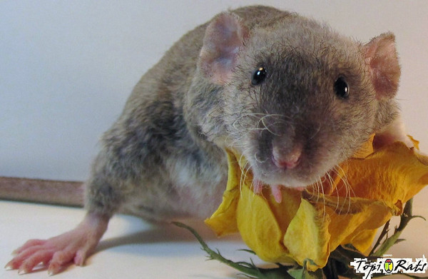 "Sunflower Rat,  from Kelsey of  Topi Rats (all rights reserved to Topi Rats). ""Sweet Sunflower is an agouti double rex dumbo and is one of the  sweetest, most laid back little girls I have ever had born here. She loves to give kisses, and is as  dainty and gentle as a fairy princess."""