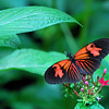 Red & Black Butterfly