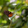 Monarch Butterfly On a Twig
