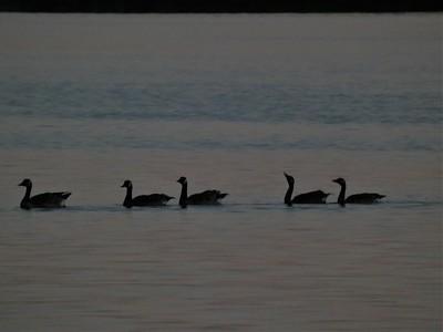 Canadian Geese at Sunset - Wamplers Lake, MI