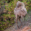 Big Horn Sheep, Zion National Park, Utah
