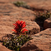 Indian Paint Brush; wildflower in Zion National Park