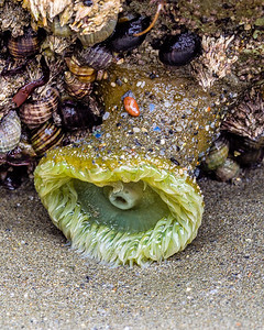 Luffenholtz Beach, Trinidad, California, Sea Anemone
