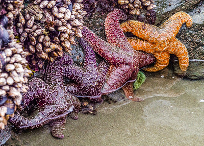 Luffenholtz Beach, Trinidad, California, Starfish