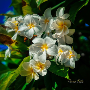 Plumeria flowers on the big island of Hawaii