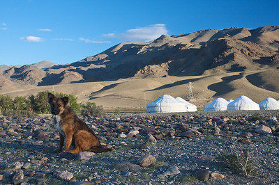Local dog visits the Ger camp in Ulgii, far NW Mongolia