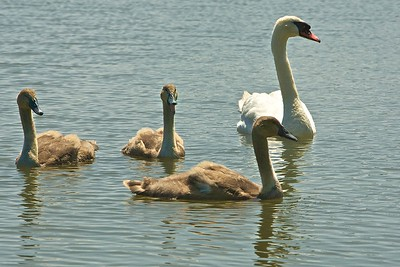 Mama Swan with her Cygnets (Babies) in Weatherall Creek