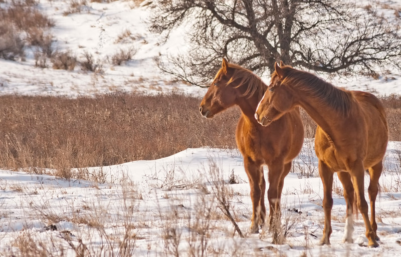 Two red horses look over shoulders