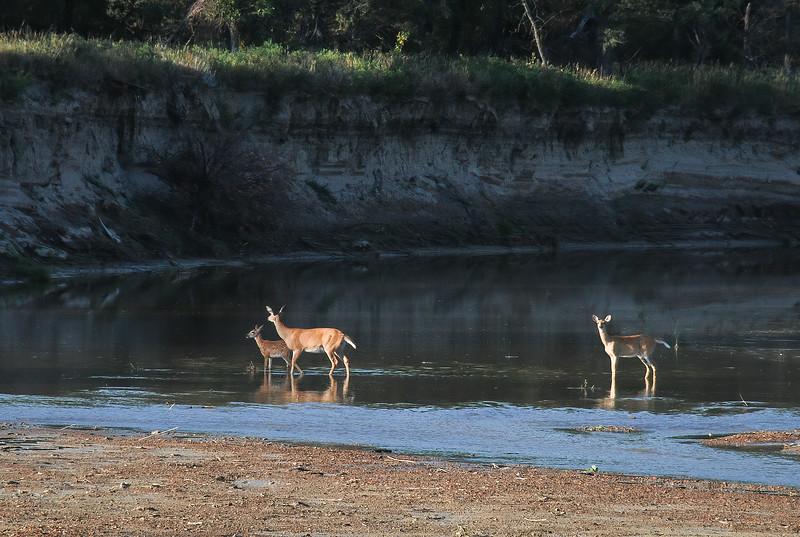 Early Morning Deer Trio on the Little Missouri River, North Dakota