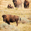 bison watch me