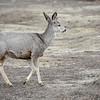 Prancing Mule Deer, Theodore Roosevelt National Park, North Dakota