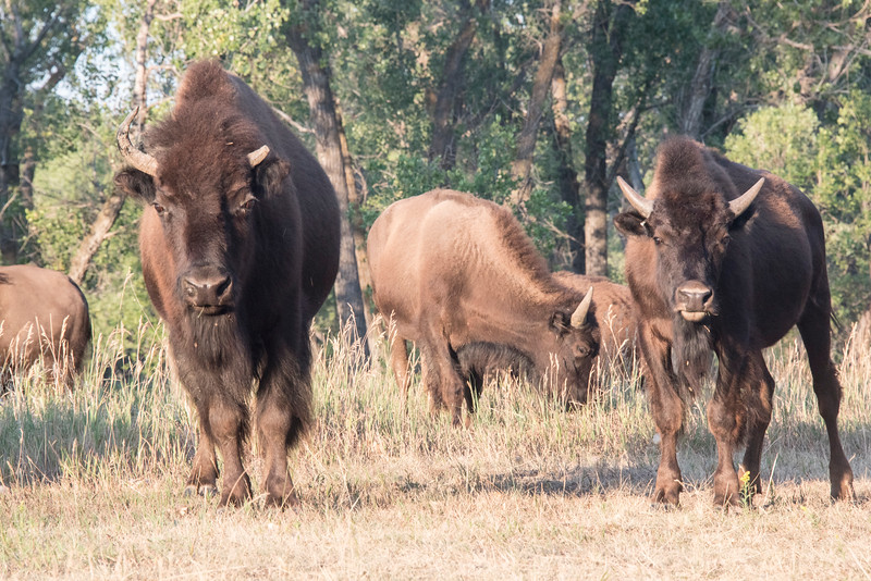 Two young bison watch me (shot from inside my tent where they grazed past me).