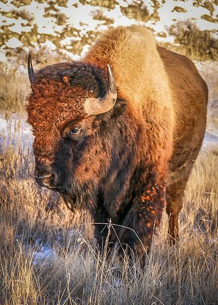 Bison During Golden Hour