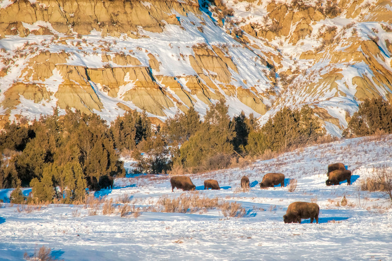 """A warm winter day is still cold for most of us, but not for the bison of the Theodore Roosevelt National Park near Watford City.<br /> <br /> You can own this print. Check out all the bison images you can buy as prints or as keepsakes such as coffee cups, mousepads, refrigerator magnets.  Click """"buy"""" to browse."""