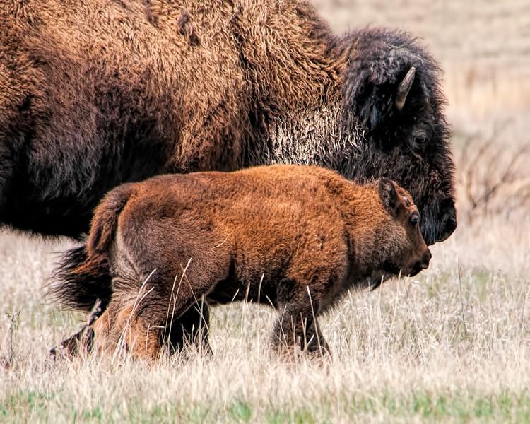 Chubby calf and mom