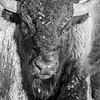 Portrait of a Bison in the Badlands  #1