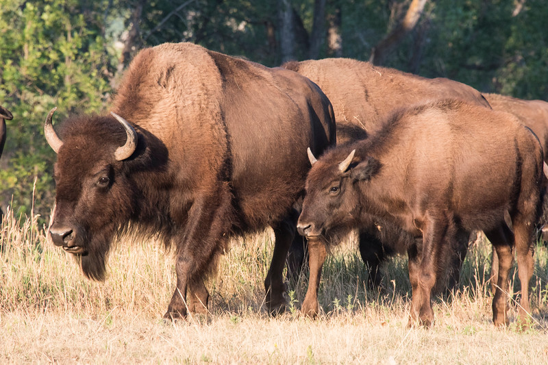 Bison mother and her calf walk by my campsite