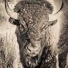 Portrait of a Bison in the Badlands #4