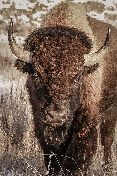 Portrait of a Bison in the Badlands  #2