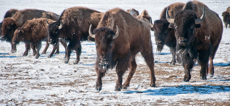A pair of buffalo lead a small group within a larger herd as they move from one region of grazing to another on a prairie pasture in Western North Dakota.
