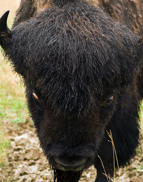 On a rainy March day, this young buffalo eyes the photographer.