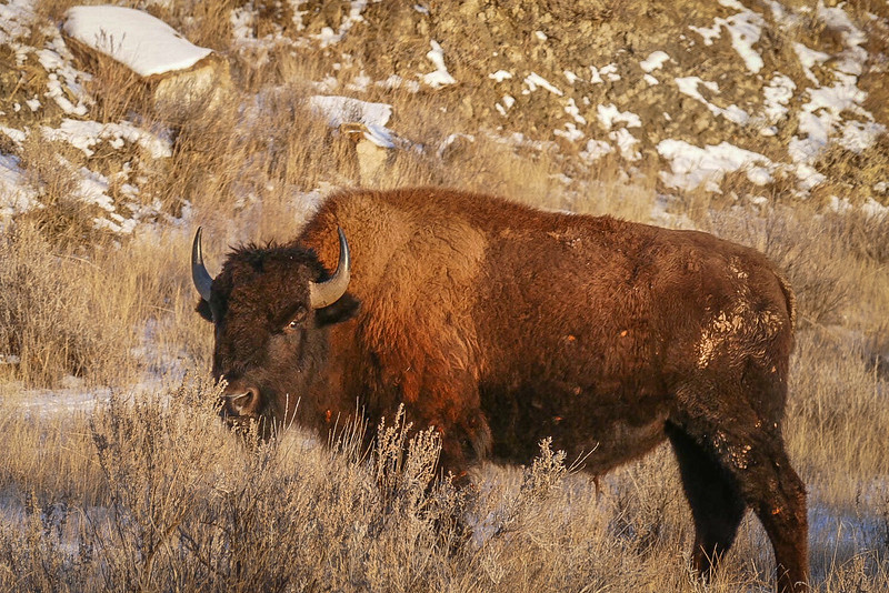 Bison Watching Us in the Golden Hour