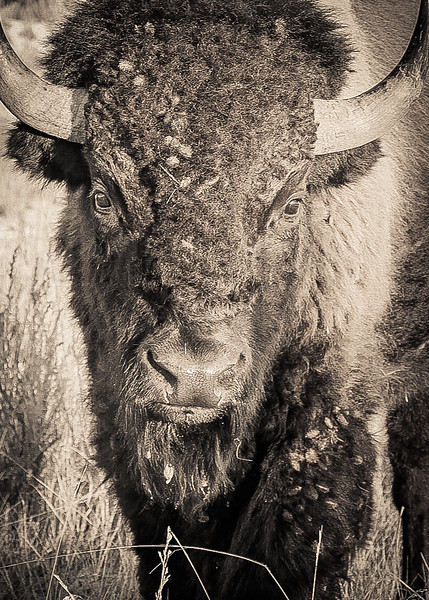 Portrait of a Bison in the Badlands #5