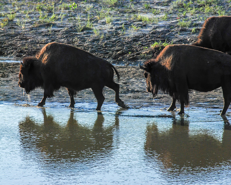 """Bison which reside in the North Unit of Theodore Roosevelt National Park, south of Watford City, begin their day with a drink from the Little Missouri River.   This marked the beginning of an exciting day, our wedding day, which began as long horn cattle and a large herd of bison roamed through our campsite as a wake up call.  <br /> <br /> Read about this exciting morning (our wedding day!) here: <a href=""""https://wp.me/p8zmWn-1hb"""">https://wp.me/p8zmWn-1hb</a><br /> <br />  <a href=""""http://www.BeautifulBadlandsND.com"""">http://www.BeautifulBadlandsND.com</a>.<br /> Read about this exciting morning (our wedding day!) here: <a href=""""https://wp.me/p8zmWn-1hb"""">https://wp.me/p8zmWn-1hb</a><br /> <br />  <a href=""""http://www.BeautifulBadlandsND.com"""">http://www.BeautifulBadlandsND.com</a>."""
