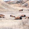 bison nap