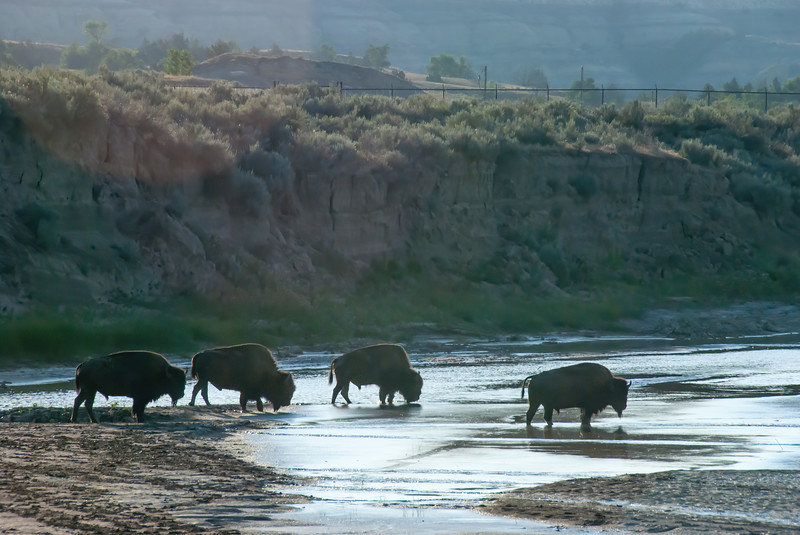 Bison Water on the Little Missouri River on a Warm July Morning