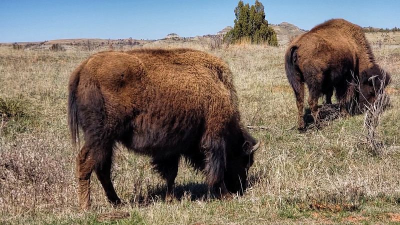 The shaggy coats of bison are apparent in that short time between winter and summer when they still have their winter coats.