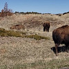 Spring has not yet turned the hillsides green, but bison still graze through the dead stand to get to the tender young shoots below.