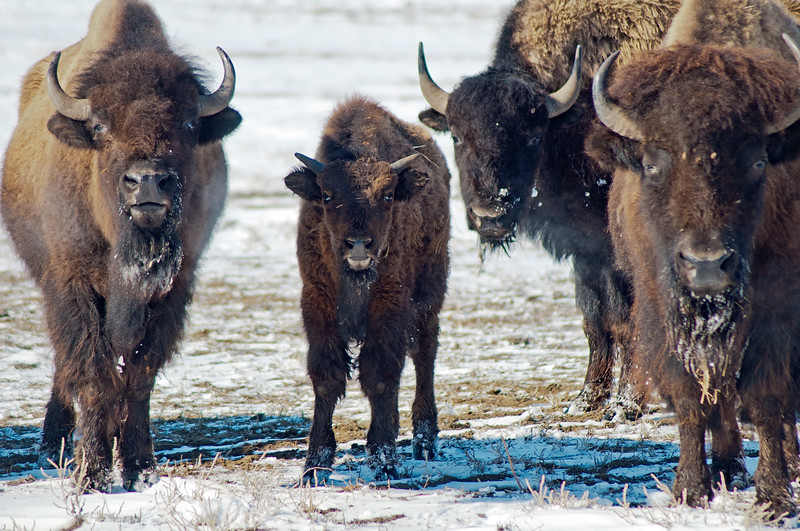 A family of American Bison stand ready to take on the photographer who gets too close while taking their family photo.