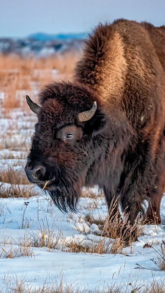 Bison Crunching Frozen Grasses in the Badlands