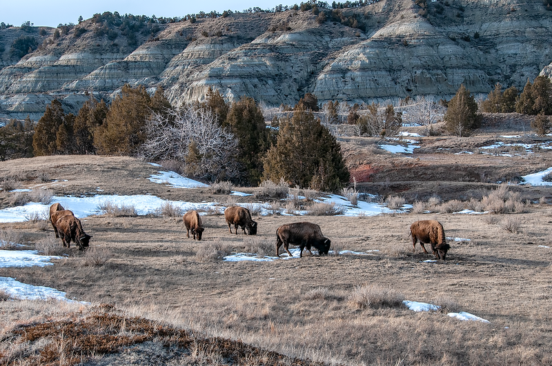 """Bison adapt well to the cold in the northern plains.<br /> <br /> You can own this print. Check out all the bison images you can buy as prints or as keepsakes such as coffee cups, mousepads, refrigerator magnets.  Click """"buy"""" to browse."""