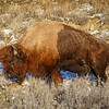 Sleepy Bull Bison Basking in the December Sun