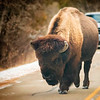 Bison King of the Road