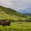 Bison, Yellow Clover, and Summer Storms